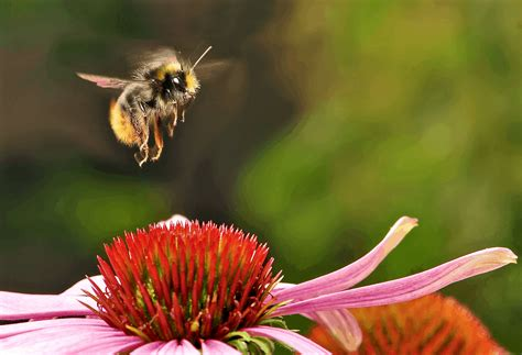 Bumblebee tongues are shrinking because of climate change