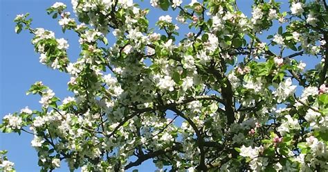 The Scottish Home: May Day and Apple Blossom in our